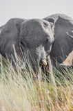 Grote olifant van achter lang gras Stock Afbeeldingen