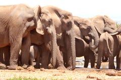 Grote Olifantsgroep Stock Afbeelding