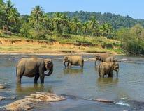 Grote olifantskudde, Aziatische olifanten die het spelen zwemmen en bathin Stock Foto