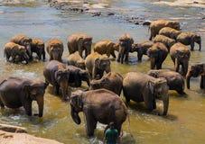 Grote olifantskudde, Aziatische olifanten die het spelen zwemmen en bathin Stock Fotografie