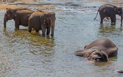 Grote olifantskudde, Aziatische olifanten die het spelen zwemmen en bathin Royalty-vrije Stock Foto's