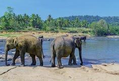 Grote olifantskudde, Aziatische olifanten die het spelen zwemmen en bathin Royalty-vrije Stock Foto