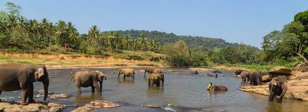 Grote olifantskudde, Aziatische olifanten die het spelen zwemmen en bathin Royalty-vrije Stock Afbeelding