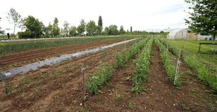 Grote openlucht moestuin met de cultuur van tomaten royalty-vrije stock afbeelding