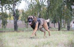 Grote opgeleide Duitse herdershond die op een gebied lopen stock afbeeldingen