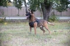 Grote opgeleide Duitse herdershond die zich op een gebied bevinden stock fotografie