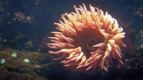 Grote Oranje Anemone Deep In The Ocean stock videobeelden