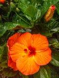 Grote oranje bloei stock foto's