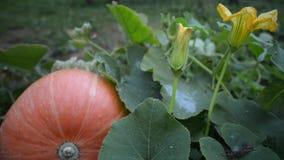 Grote oranje Pompoen stock video