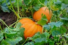 Grote oranje pompoenen Stock Foto's