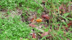 Grote oranje vlinder stock videobeelden