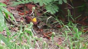 Grote oranje vlinder stock video