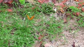 Grote oranje vlinder stock footage