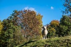 Grote orientalis van Ovis van de mouflonram stock afbeeldingen