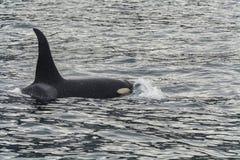 Grote orka Royalty-vrije Stock Foto