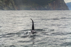 Grote orka Royalty-vrije Stock Afbeelding