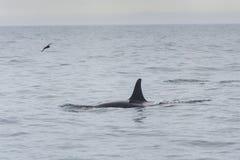 Grote orka Stock Foto