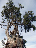 Grote oude boom Royalty-vrije Stock Foto's