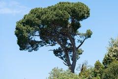 Grote oude boom Stock Afbeeldingen