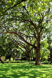 Grote oude boom bij Koning Rama 6 Paleis, Huahin stock foto