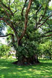 Grote oude boom bij Koning Rama 6 Paleis, Huahin royalty-vrije stock foto