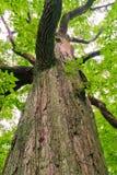 Grote oude eiken boom in het bos royalty-vrije stock afbeelding