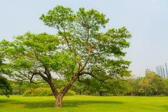 Grote oude Eiken boom in Ruw daglicht Stock Foto's