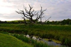 Grote oude oude boom met gebogen takken op het gebied, Norfolk, het Verenigd Koninkrijk Stock Afbeeldingen