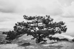 Grote oude pijnboom, die zich alleen bevinden Stock Foto's