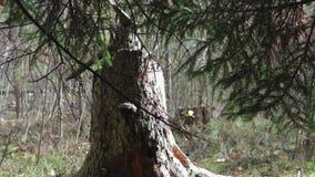 Grote, oude stomp in de herfst bosclose-up stock videobeelden