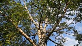 Grote oude witte berkboom over duidelijke blauwe de zomerhemel stock video
