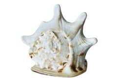 Grote overzeese die shell op witte achtergrond wordt geïsoleerd Royalty-vrije Stock Foto's