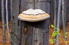 Grote paddestoel op een beukboom in een boshomolje-bergen Stock Afbeelding