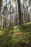 Grote paddestoelen die enkel in het bos worden verzameld Royalty-vrije Stock Afbeelding