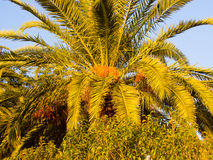 Grote palm Royalty-vrije Stock Afbeeldingen