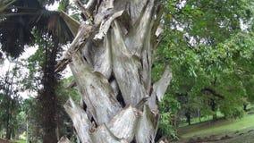 Grote palm in de koninklijke botanische tuin stock video