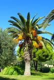 Grote palm in Griekenland Stock Afbeelding