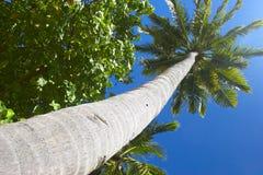 Grote palmtree Royalty-vrije Stock Foto's