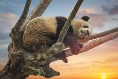 Grote panda die op een boom rusten stock foto's