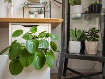 Grote pannekoekinstallatie in een industriële zwart-witte studieruimte met talrijk andere groene houseplants royalty-vrije stock foto