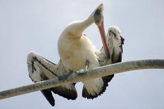 Het Gladstrijken van de pelikaan Stock Afbeeldingen