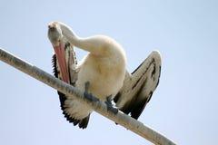 Het Gladstrijken van de pelikaan Royalty-vrije Stock Fotografie