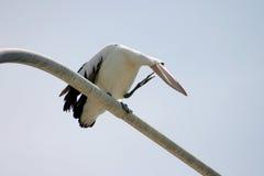 Het Gladstrijken van de pelikaan Royalty-vrije Stock Foto's