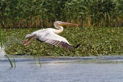 Grote pelikaan tijdens de vlucht bij Musura-baai Stock Fotografie