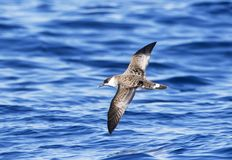 Grote Pijlstormvogel, Great Shearwater, Puffinus gravis