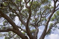 Grote Pijnboom stock afbeelding