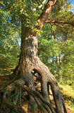Grote Pijnboom Royalty-vrije Stock Fotografie