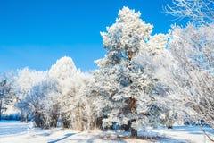 Grote pijnboomboom met rijp in de winterbos Royalty-vrije Stock Foto's
