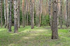 Grote pijnboomboomstammen in de lentebos Stock Foto