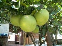 3 grote pompelmoesvruchten of grapefruit, doorbladeren en de boom Stock Foto's